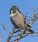 Hawk Owl in February 2021