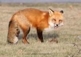 Fox standing over rabbit meal
