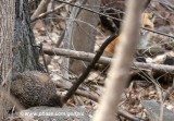 Groundhog being stalked by fox
