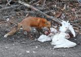 Fox feeding on snowy owl carcass