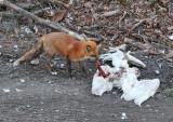 Fox enjoying a meal of snowy owl.