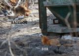 Fox stalking a Raccoon