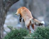 Fox leaping after prey