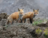 Foxes very active today