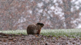 Groundhog Willy second guessing early spring forecast.