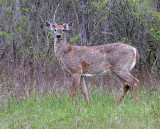 A buck in the spring