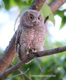 Baby Owl - Fuzzy Wuzzy