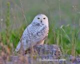 Over-summering snowy owl