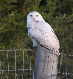 Snowy Owl in June