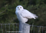 Snowy Owl without snow