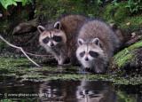 Raccoon at the lake.