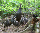 Family of Wild Turkeys with Mom only