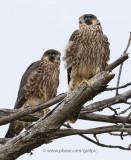 Two juvenile peregrine falcons