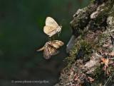 Gypsy Moths everywhere
