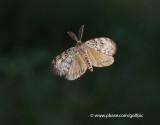 Male Gypsy Moth in Flight