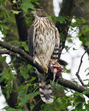 Coopers Hawk with kill