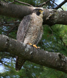 Peregrine falcon (female of a mated pair).