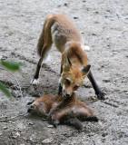 Fox and Groundhog