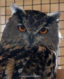 Eurasian Eagle Owl in Ottawa