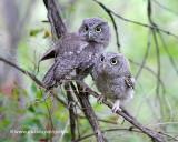 Eastern screech owls (juveniles)