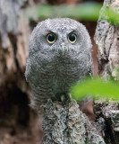Screech Owl fledgling