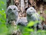 Screech Owl family