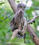 Young owl wing-stretch