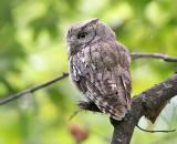 Adult screech owl