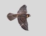 Peregrine falcon over Ottawa