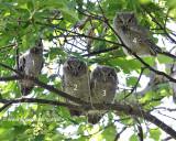 4 Young Screech Owls