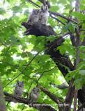 4 screech owl young