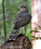 Coopers Hawk with black squirrel