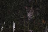 Fishing Cat
