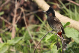 Red-vented