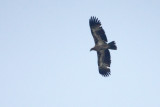 Pallas' Fish Eagle