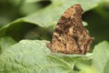 butterfly spec.