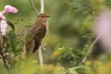 Plaintative Cuckoo