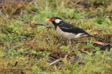 Asian Pied Starling