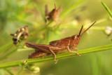grasshopper spec.