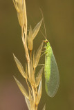 green lacewing spec.