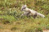 Actic Fox