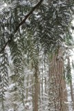 Leaves of Cedar