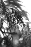Leaves of Cedar