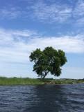 De Jeneverboom