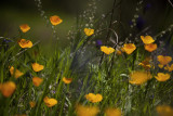Tufted Poppies