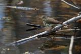 Paruline des ruisseaux - Northern Waterthrush