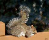 Écureuil gris - Eastern gray squirrel