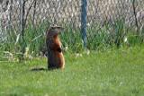 Marmotte - Groundhog