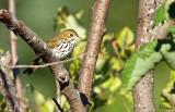Paruline couronnée - Ovenbird