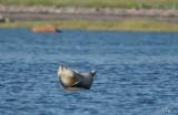 Phoque commun - Harbor seal